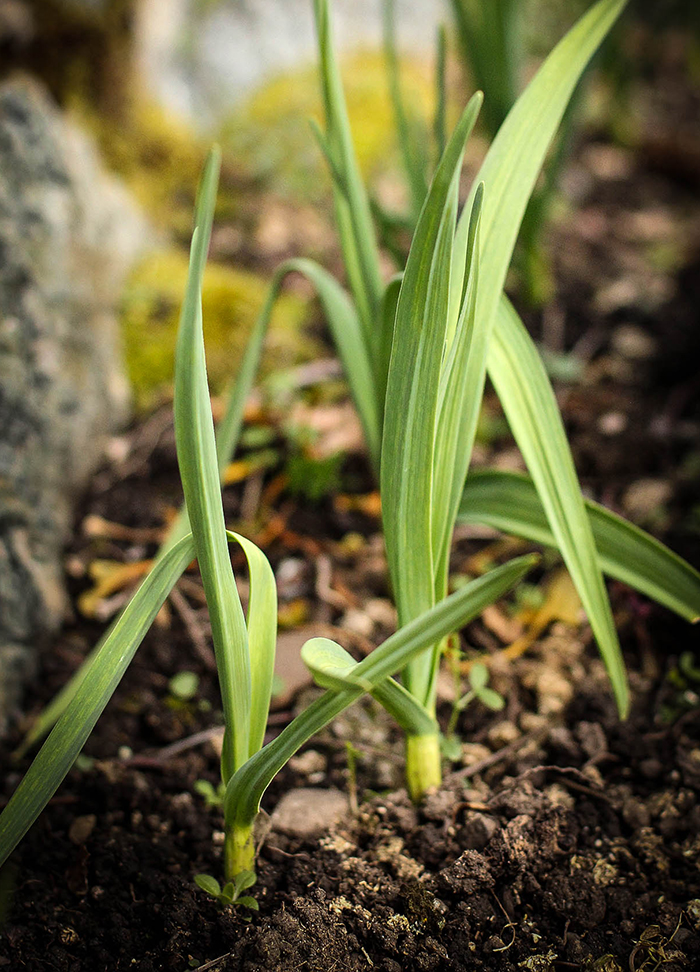 Garlic in March