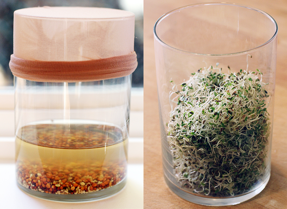 Growing sprouts in a jar