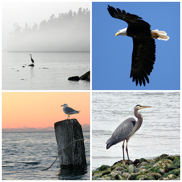 Birds on southern Vancouver Island.