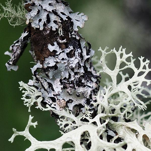 Detail closeup of moss photo